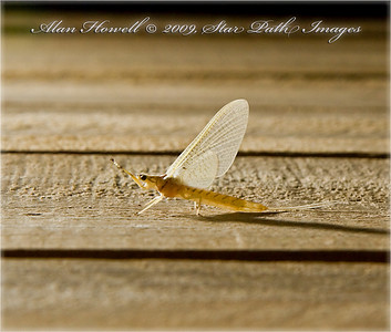 The 'Golden Drake' Mayfly in July.  Subimago Mayfly, Hexagenia (limbata), is my best guess.