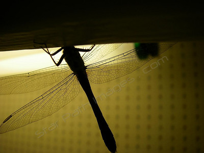 The perfect symmetry of dragonfly wings.