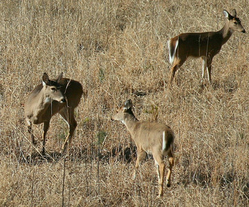 Whitetails inspecting each other in a sage field.
