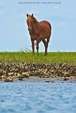 Wild horse on Shackleford Banks, NC.