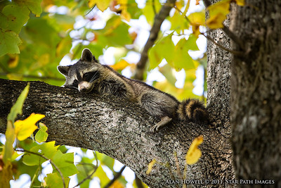 Wonder what a raccoon thinks while loungin' in a tree...