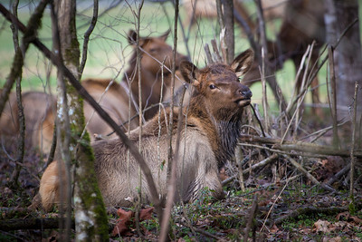 Awww, baby calf elk chillin with his buds.