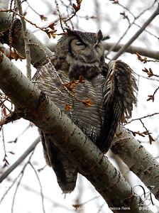 Moma Owl