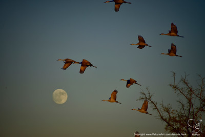 Sandhill Cranes and the Moon