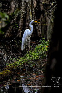 Egret in the Swamp