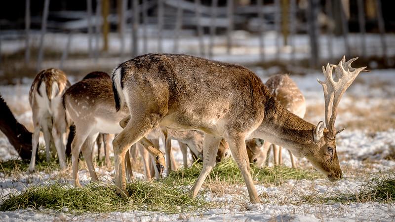 European fallow deer farm dirring feeding time