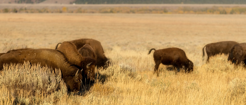 Buffalo feeding in the great Teton Valley