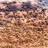 Sky is filled with migrating Snow Geese
