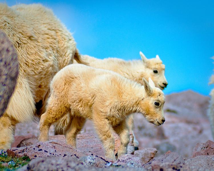 Baby Mountain Goats in Colorado