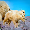 Baby Mountain Goats in Colorado