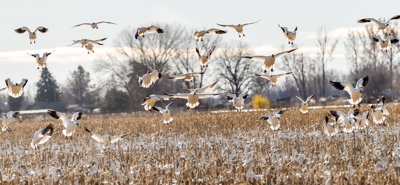 Snow geese in flight and coming in for a landing over a corn field