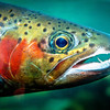 Close up of a colorful trout in the spring time