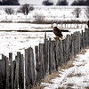 Bald Eagle sit on an old wooden fence near New Meadows