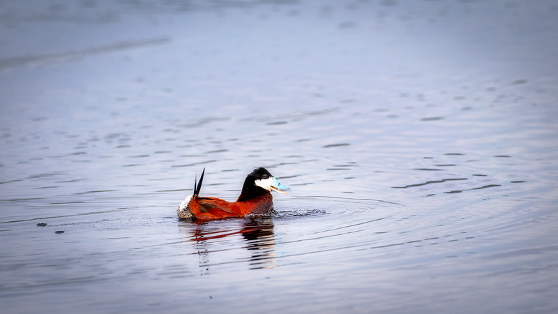 Unique Ruddy Duck with blue beak on a pond