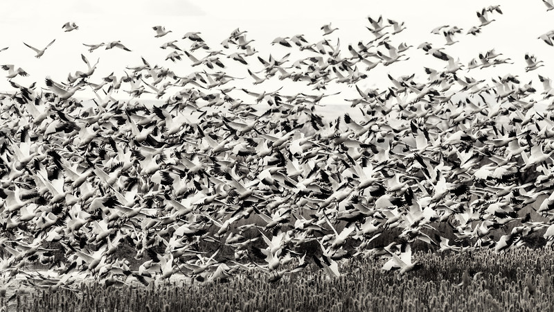 Launching Snow Geese all at once