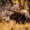 Bull moose at Gros Ventre creek chasin a cow around