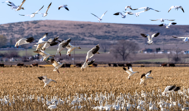Snow geese make the final approach for landing
