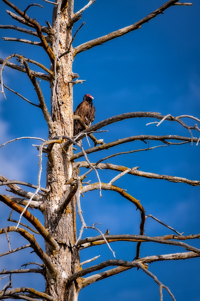 A Turkey Vulture in the top of an old snag against blue sky