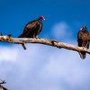 Two Turkey Vultures in a tree talking to each other