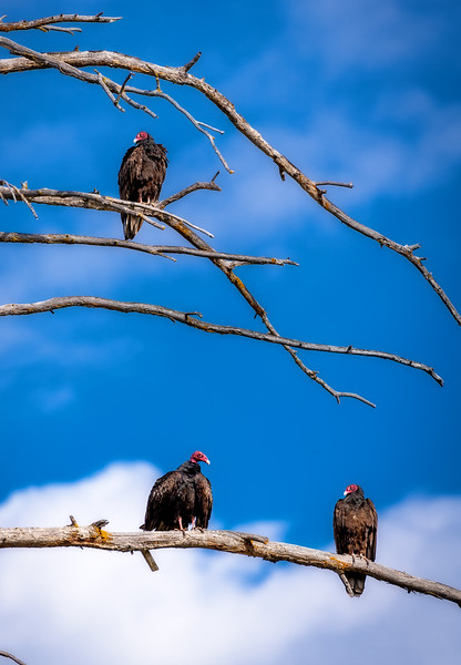 Three Turkey Vultures take a break in a tree after a morning fest of roadkill
