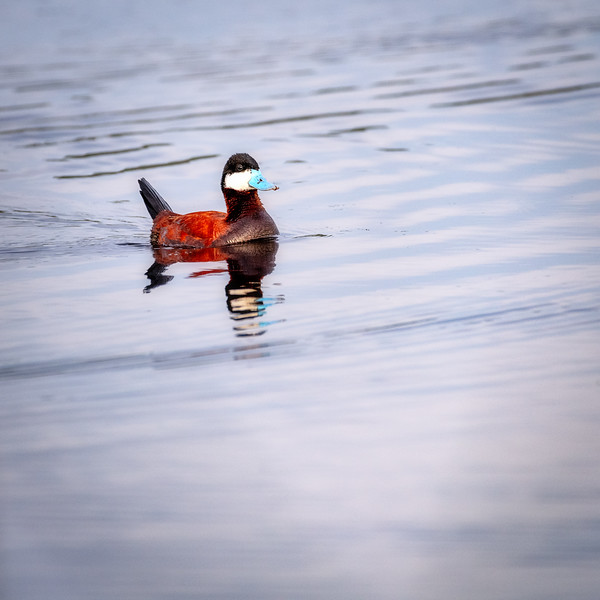 Ruddy Duck on a pond in Centennial Marsh