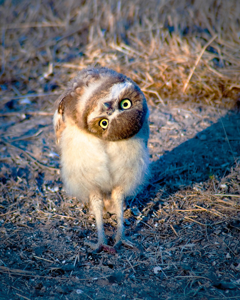 Burrowing Owl with twisted head Left