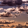 Snow geese fly against colored clouds