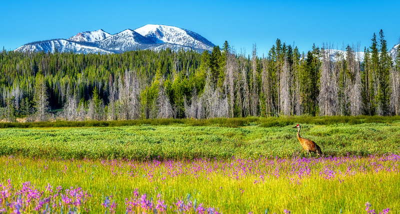 Sandhill Crane in a field of wild flowers in the Sawtooths