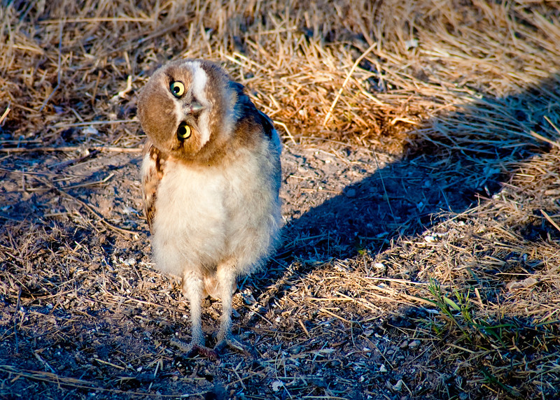Burrowing Owl with twisted head Right