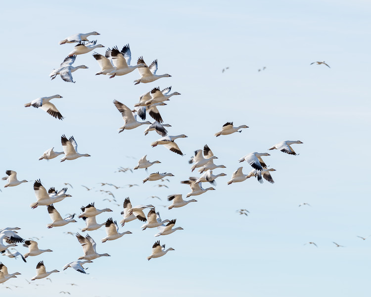 Snow geese fly in a V formation
