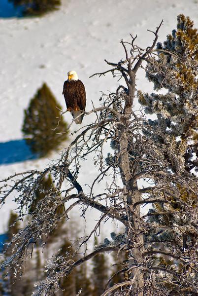 Bald Eagle in winter Idaho