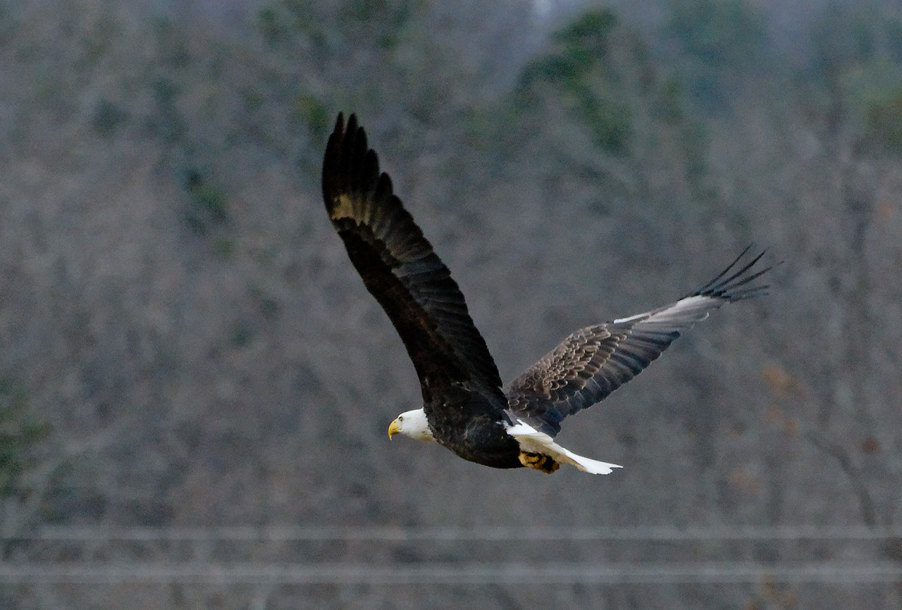 """In flight at a local farm just west of Ellington, Missouri. I took this near Highway 106. Go to the """"Map This"""" button above for the exact location."""