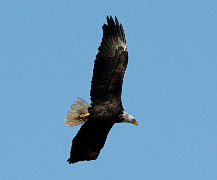 Bald Eagle.  Missouri Ozarks.