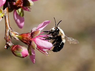 Bee on a peach blossom.