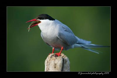 Arctic_Terns