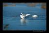 DSC_5484-12x18-09_2014-Swans-W