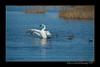 DSC_5497-12x18-09_2014-Swans-W