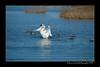 DSC_5498-12x18-09_2014-Swans-W
