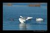 DSC_5484-12x18-09_2014-Swans-W_1