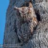 Eastern_Screech_Owl_04232016-1