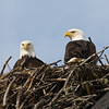 nesting bald eagles