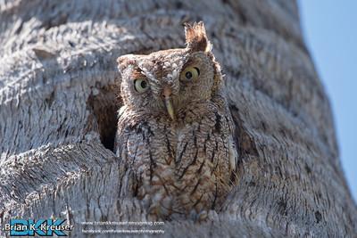 Eastern_Screech_Owl_04232016-2