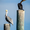 Brown Pelican and Ahinga