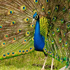 Peacock flaunting his stuff