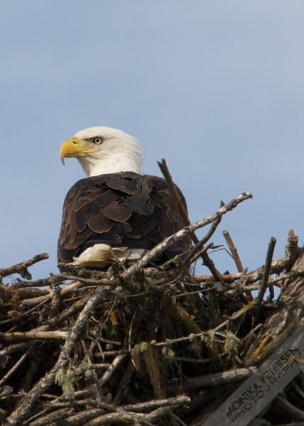 Bald Eagle, Central BC / Canada