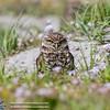 Burrowing_Owl_03122016-2