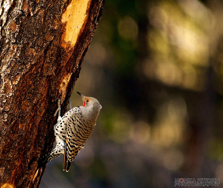Northern Flicker ©monika petersen photography