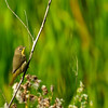 yellow warbler, female