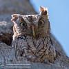 Eastern_Screech_Owl_04232016-3