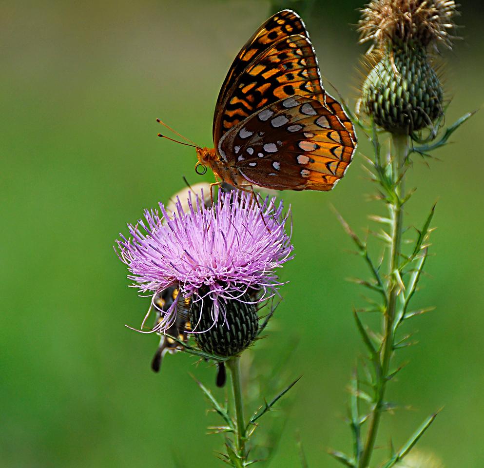 Butterfly. Missouri Ozarks.
